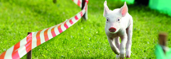 Rudi the Racing Pig Teaser